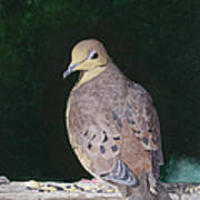 Lady Dove Art Print