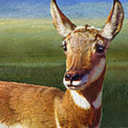 Lady Pronghorn Art Print