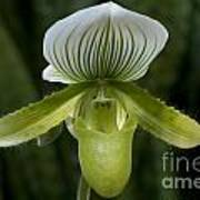 Lady Slipper Orchid Art Print