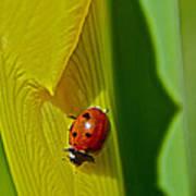 Ladybug Macro Art Print