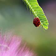 Ladybug With Mimosa Art Print