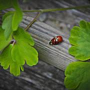 Ladybugs Mating Art Print