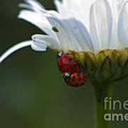 Ladybugs On Shasta Daisy Art Print