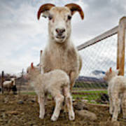 Lamb On A Farm, Iceland Art Print