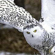 Landing Of The Snowy Owl Where Are You Harry Potter Art Print