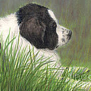 Landseer Newfoundland Dog In Grass Pets Animal Art Art Print