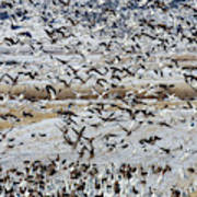 Large Flocks Of Migratory Birds Stop Art Print