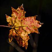 Last Maple Leaf Art Print