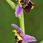 Late Spider Orchid Switzerland Art Print
