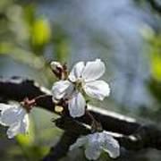 Late Spring Blossom Art Print