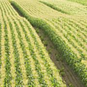 Late Summer Corn Field In Maine Art Print