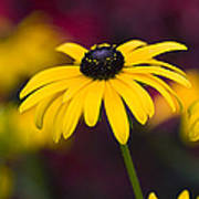 Late Summer Rudbeckia  Art Print by Tim Gainey
