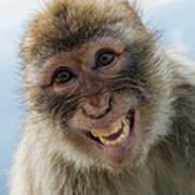 Laughing Gibraltar Ape Barbary Macaque Art Print