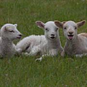 Laughing Lamb Art Print