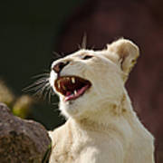 Laughing Lioness Art Print