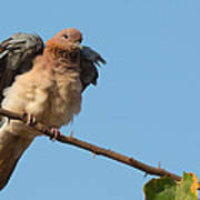 Laughing Palm Dove Fluffing Feathers Art Print
