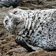 Laughing Seal Art Print