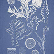 Laurencia Concinna And Hypnea Musciformis Art Print