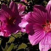 Lavatera - A Study In Pink Art Print