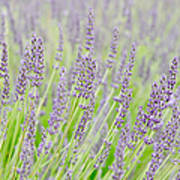 Lavender 1 Art Print