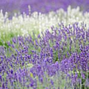 Lavender 4 Art Print