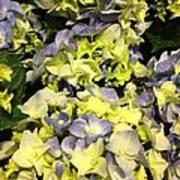 Lavender And Yellow Hydrangea Art Print