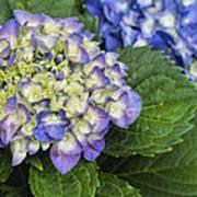 Lavender Blue Hydrangea Blossoms Art Print