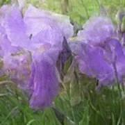 Lavender Blue Iris Garden Art Print