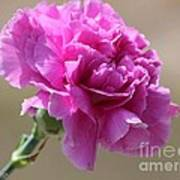 Lavender Carnation Art Print