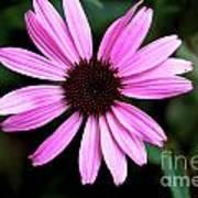 Lavender Daisy Art Print