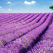 Lavender Field And Tree In Summer Provence France. Art Print by Matteo Colombo