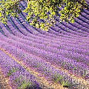 Lavender Field In France Art Print