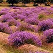 Lavender Fields 2 Art Print