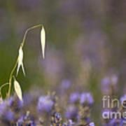 Lavender, France Art Print