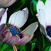 Lavender Frost African Daisy Art Print
