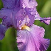 Lavender Iris Blooming  Art Print