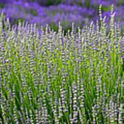 Lavender Layers Art Print