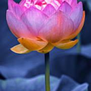 Lavender Lotus Art Print