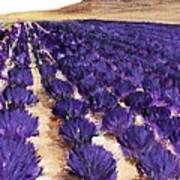 Lavender Study - Marignac-en-diois Art Print