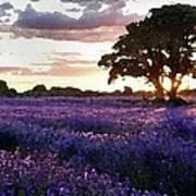 Lavender Sunset Art Print by Cole Black