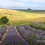 Lavender Valley Art Print by Carol Groenen