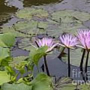 Lavender Waterlilies Art Print