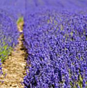 Lavender's Blue Art Print