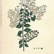 Lawsonia Inermis, Historical Artwork Art Print