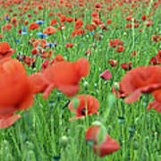 Laying In The Poppy Field Art Print