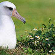 Laysan Albatross Nesting Hawaii Art Print