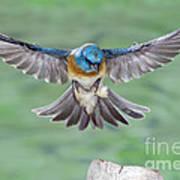 Lazuli Bunting In Flight Art Print