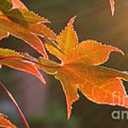 Leaf In The Sun Art Print