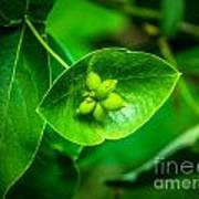 Leaf With Seeds Art Print