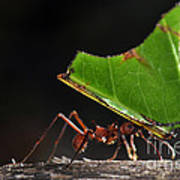Leafcutter Ant Art Print